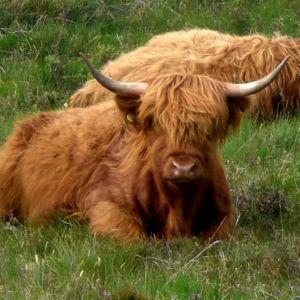 Bild Schottische Hochlandrinder, ein beliebtes Fotomotiv auf der Safari