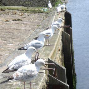 An den Häfen der cornischen Fischerdörfchen warten schon die Möwen...