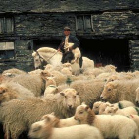 Schafe wohin das Auge reicht - im Dartmoor Nationalpark