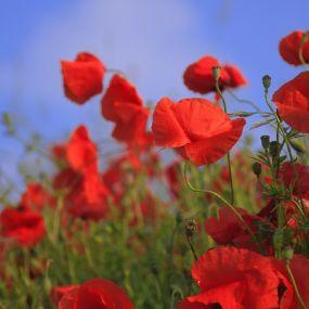 Wunderschöne Blumenfelder prägen das Bild Südenglands