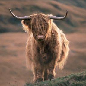 Achtung Gegenverkehr - auch die Highlandkühe nutzen gerne die Straßen der Highlands