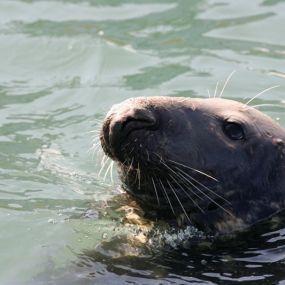 Seehunde an den schottischen Küsten
