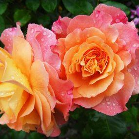 Romantische Rosen prägen die englischen Gärten