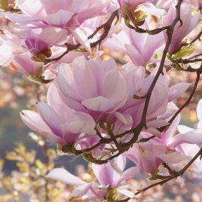 Wunderschöne Magnolien - Gartenreise England