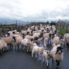 Schafe wohin das Auge reicht - im Yorkshire Nationalpark